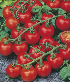 Tomato Raksha