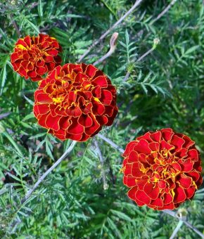 French Marigold Flower