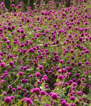Gomphrena Flower Seeds