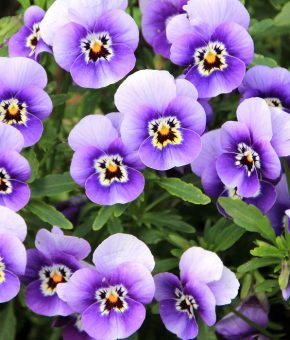 Pansy Flower Seeds