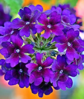 Verbena Flower Seeds