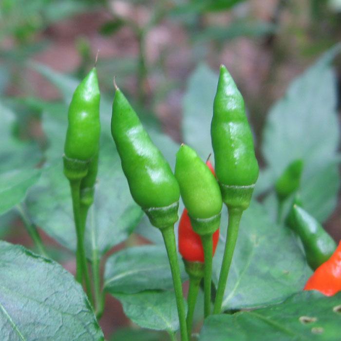 kanthari-chilli
