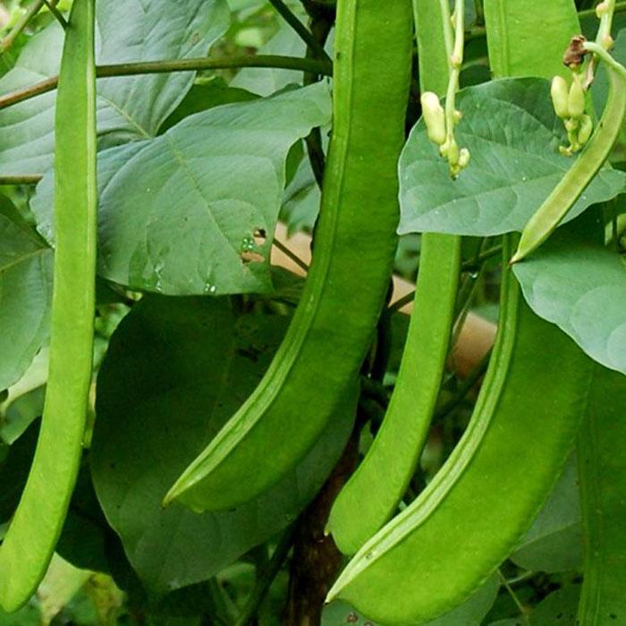 sword-beans