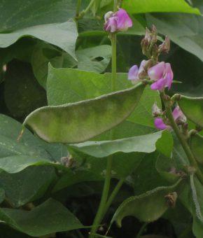 Lablab Bean (Amara)