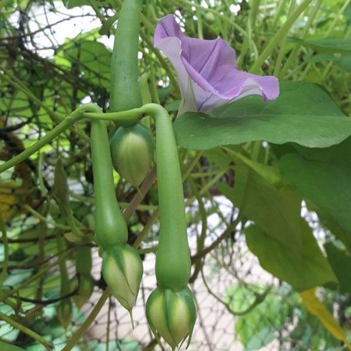 clove beans
