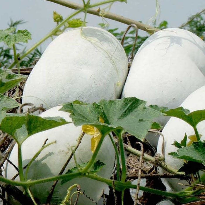 ashgourd-seed-buy-online
