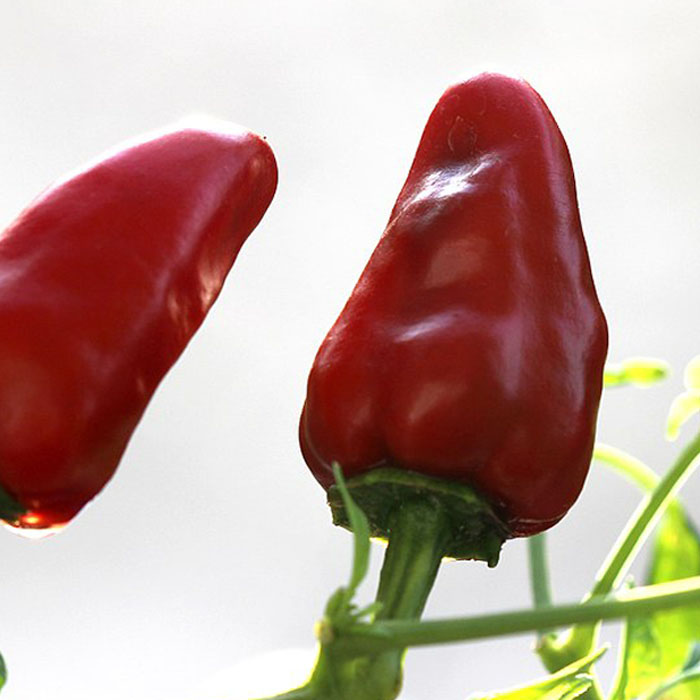 bullet-chilli-seeds-online